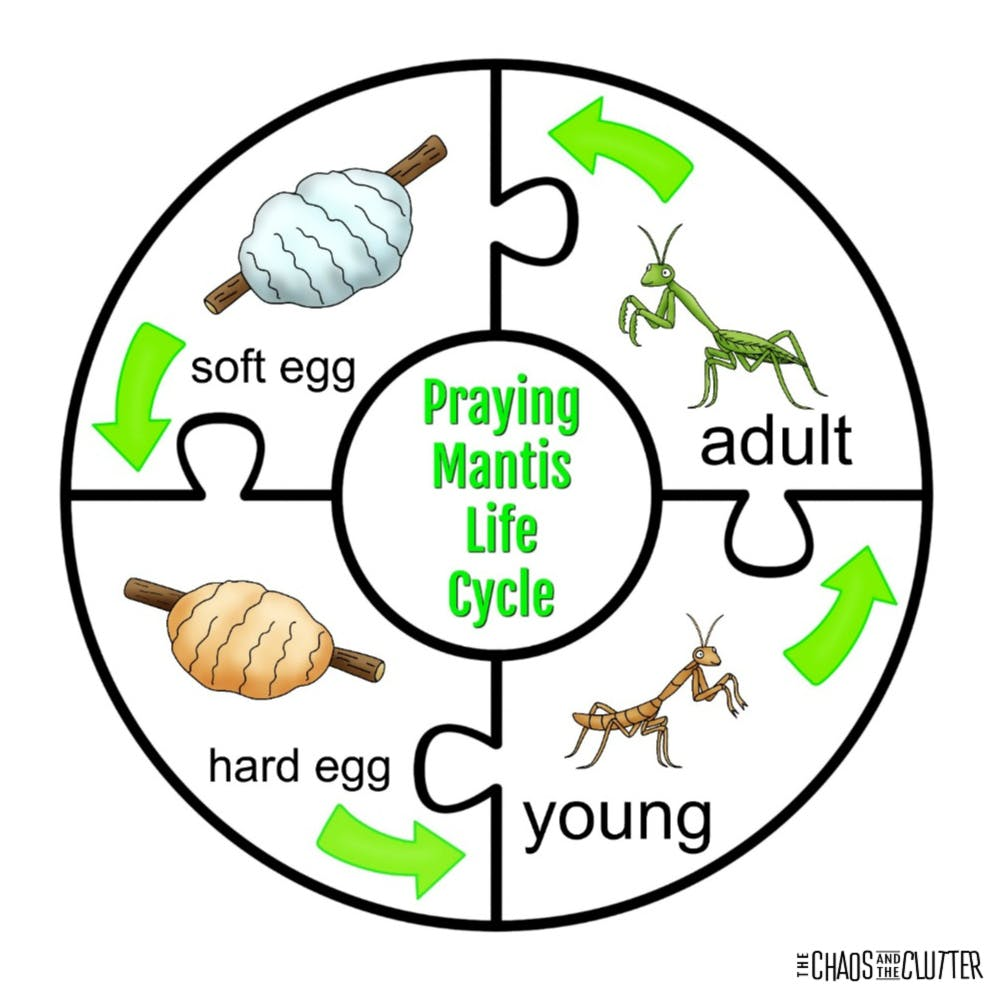 Praying Mantis Life Cycle Sensory Bin