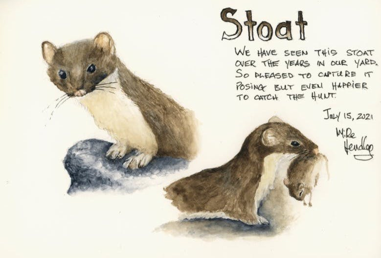 Watercolor of a stoat