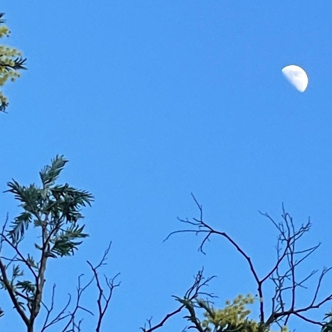 Moon over acacias