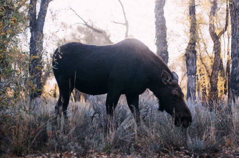 a moose in the woods my animal spirit guide message