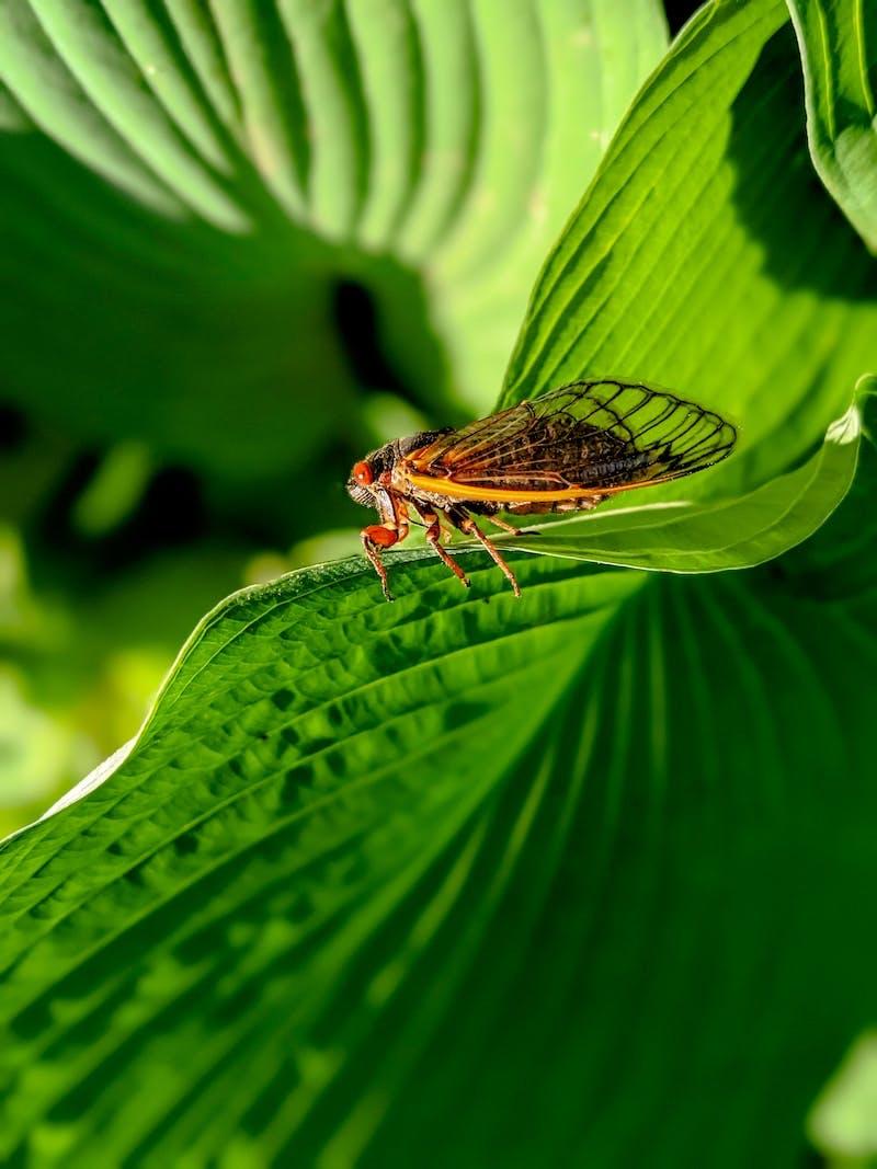 Cicada brood x
