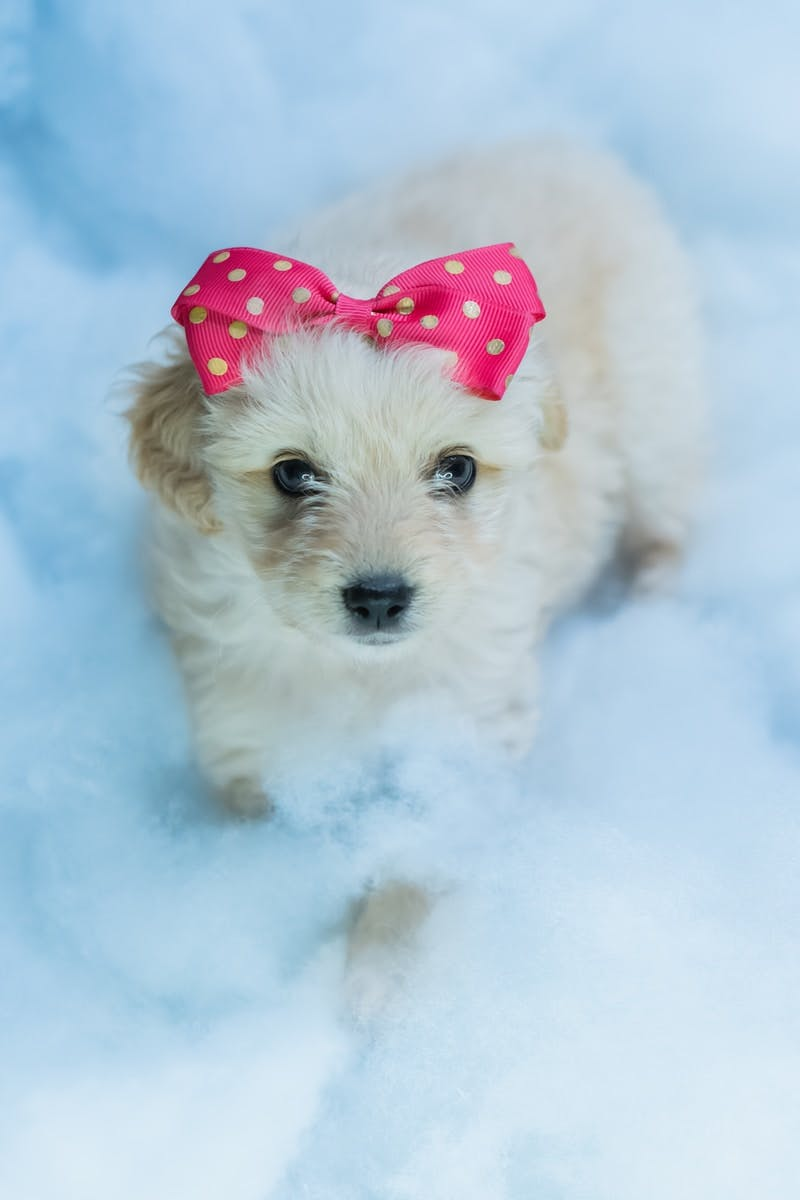 white long coated small dog with red and white polka dot bowtie