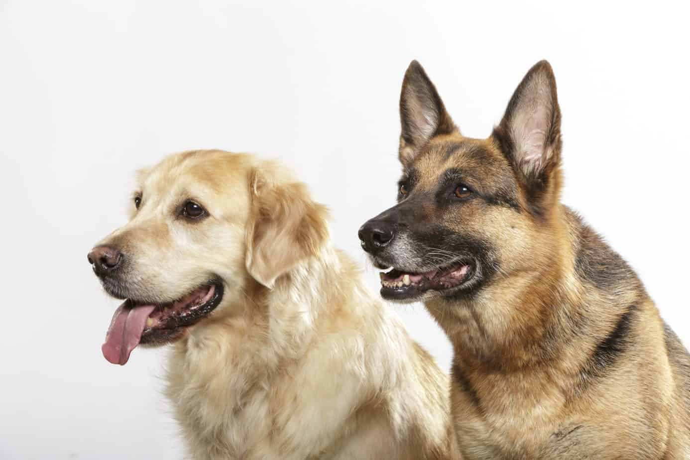 Golden-Retriever-German-Shepherd-Mix-Meet-The-Golden-Shepherd