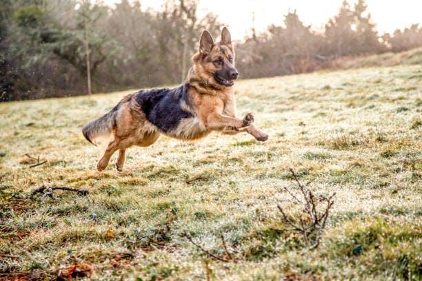 How-fast-can-a-german-shepherd-run