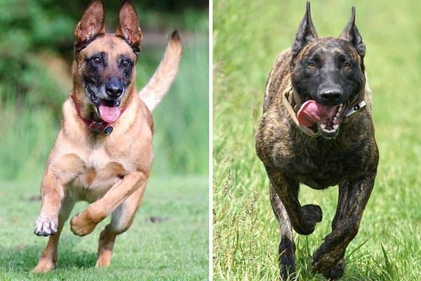 dutch-shepherd-vs-belgian-malinois